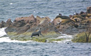 A seal walks through its rookery in the Sea of Cortes.