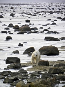 Hudson Bay is freezing over -- what this bear and the others need to let them get to their food: seals.