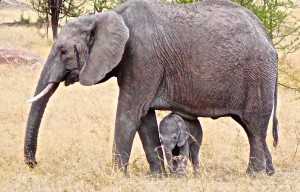 A baby elephant, perrhaps two weeks old and still wobbly on its feet, passes beneath its mother.