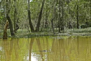 A gator glides through Louisiana's Atchafalaya Basin